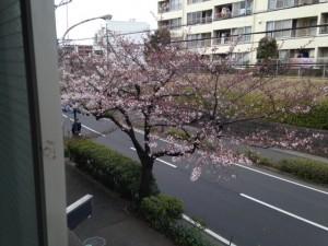 会社からの桜